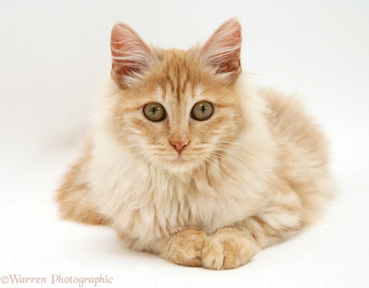 Red Silver Turkish Angora Cat Photo Wp17703