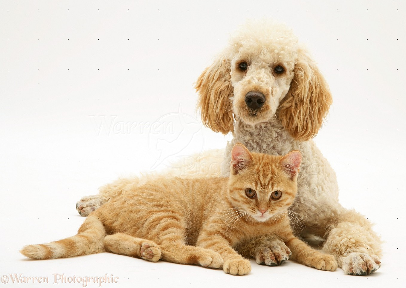 Apricot poodle murphy with ginger cat
