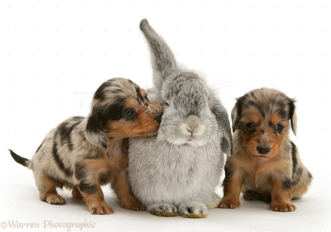 Pets Dachshund Pups With Rabbit Photo Wp17777