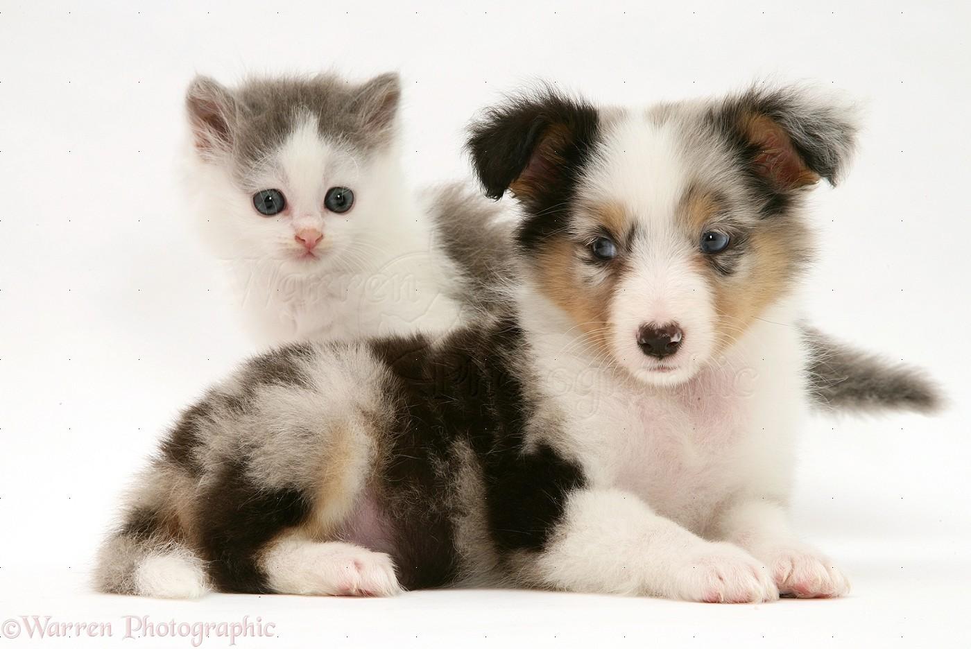 WP17792 Birman-cross kitten and tricolour merle Shetland Sheepdog pup.