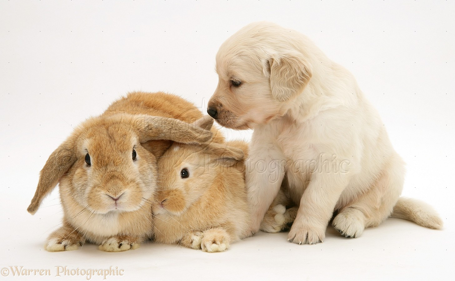 WP17861 Mother and baby sandy Lop rabbits with Golden Retriever pup.