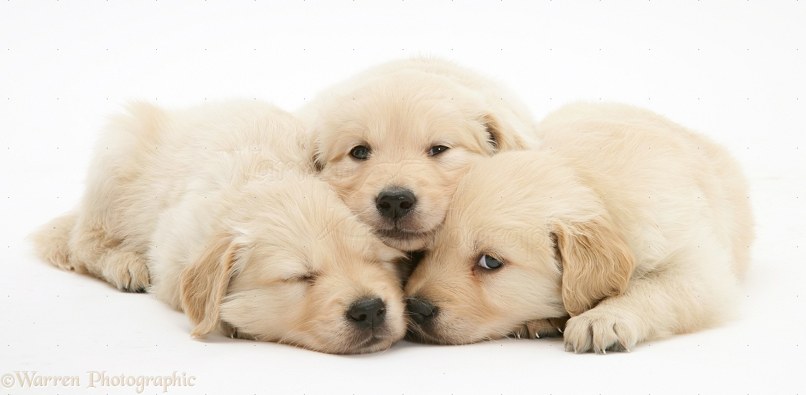 Dogs sleepy golden retriever puppies photo wp17864