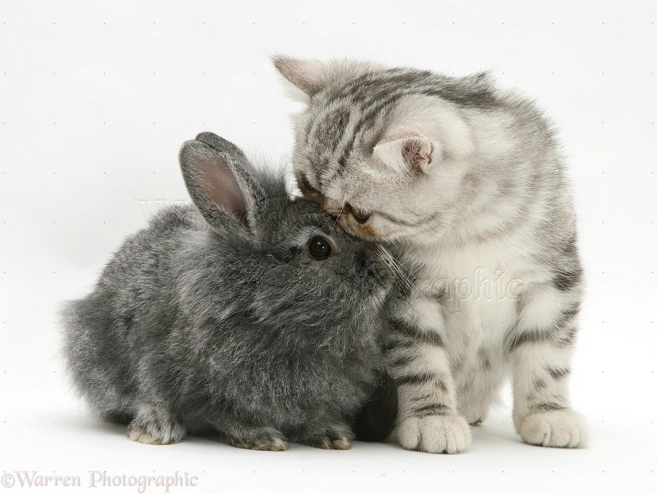 Exotic Cat Pets Uk