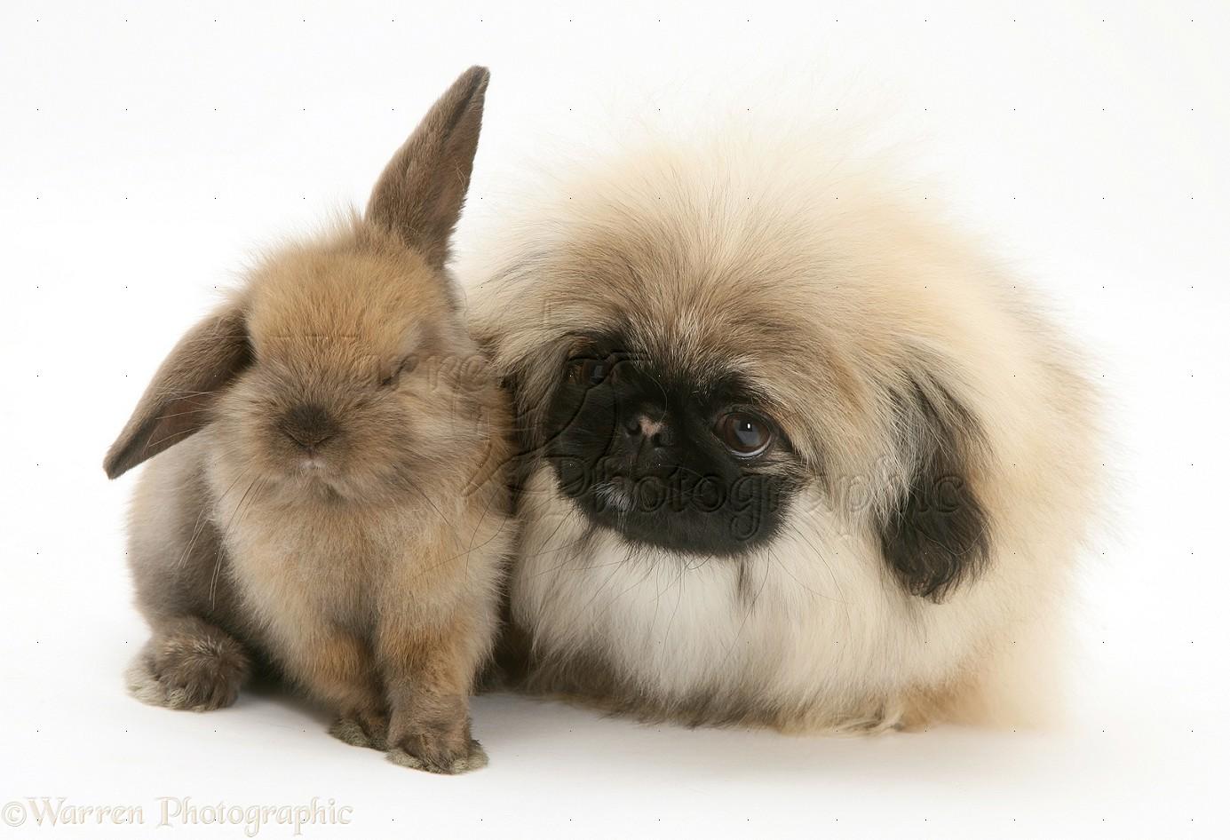 Pets: Pekingese pup and baby Lop rabbit photo WP17899