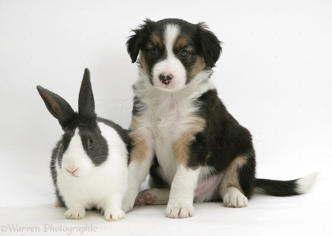 Tricolour Border Collie pup with blue Dutch rabbit photo - WP17905