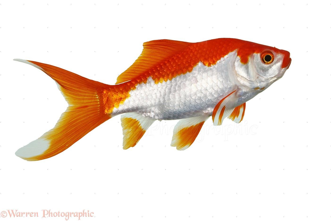 Goldfish Not Go Fish