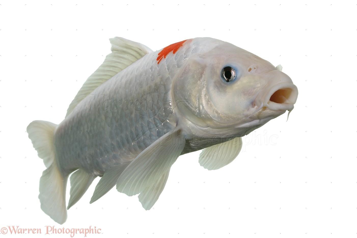 White koi carp photo wp18010 for White koi carp