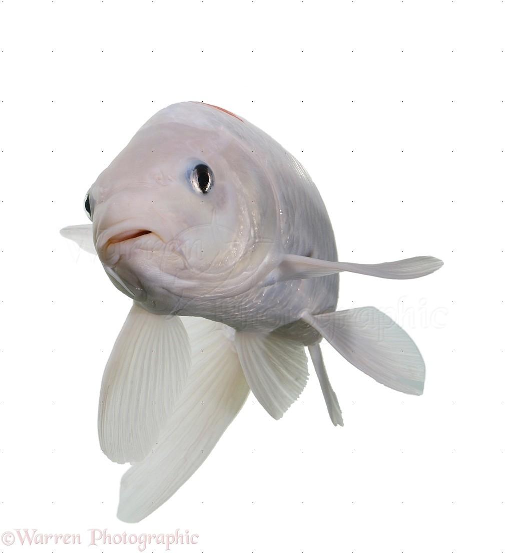 White koi carp photo wp18011 for White koi carp