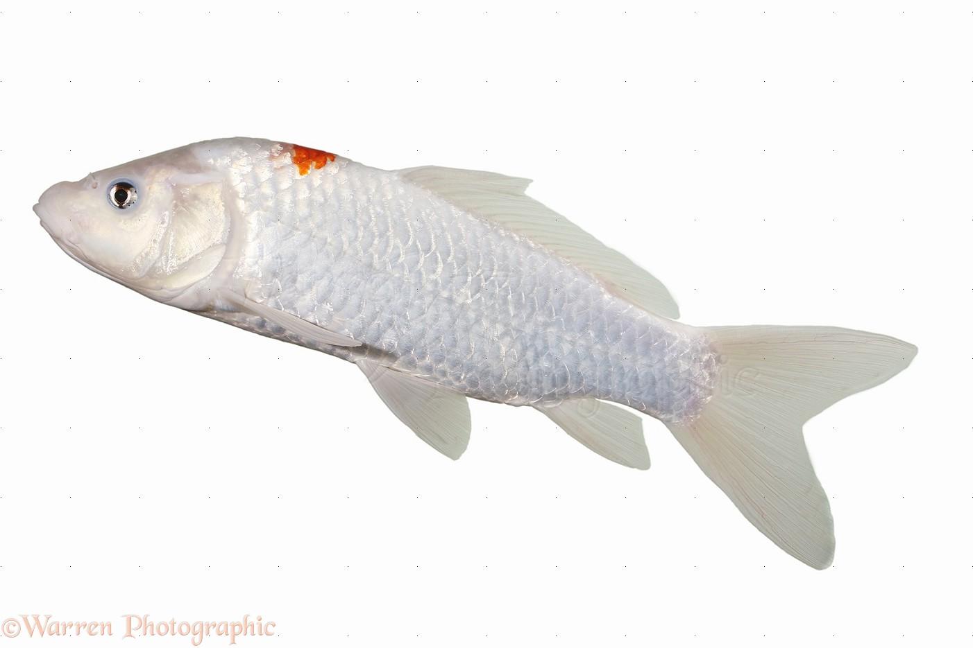 White Koi Carp Photo Wp18013