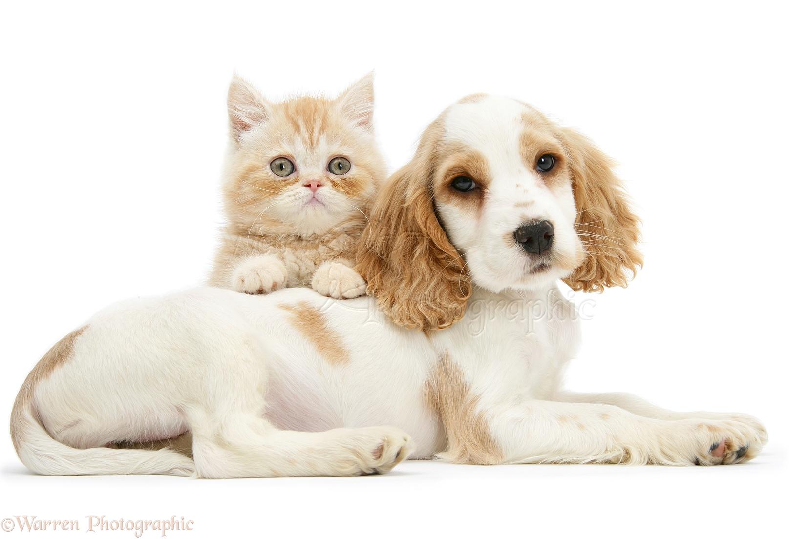 Nice Orange Roan Cocker Spaniel Pup, Blossom, With Ginger Kitten