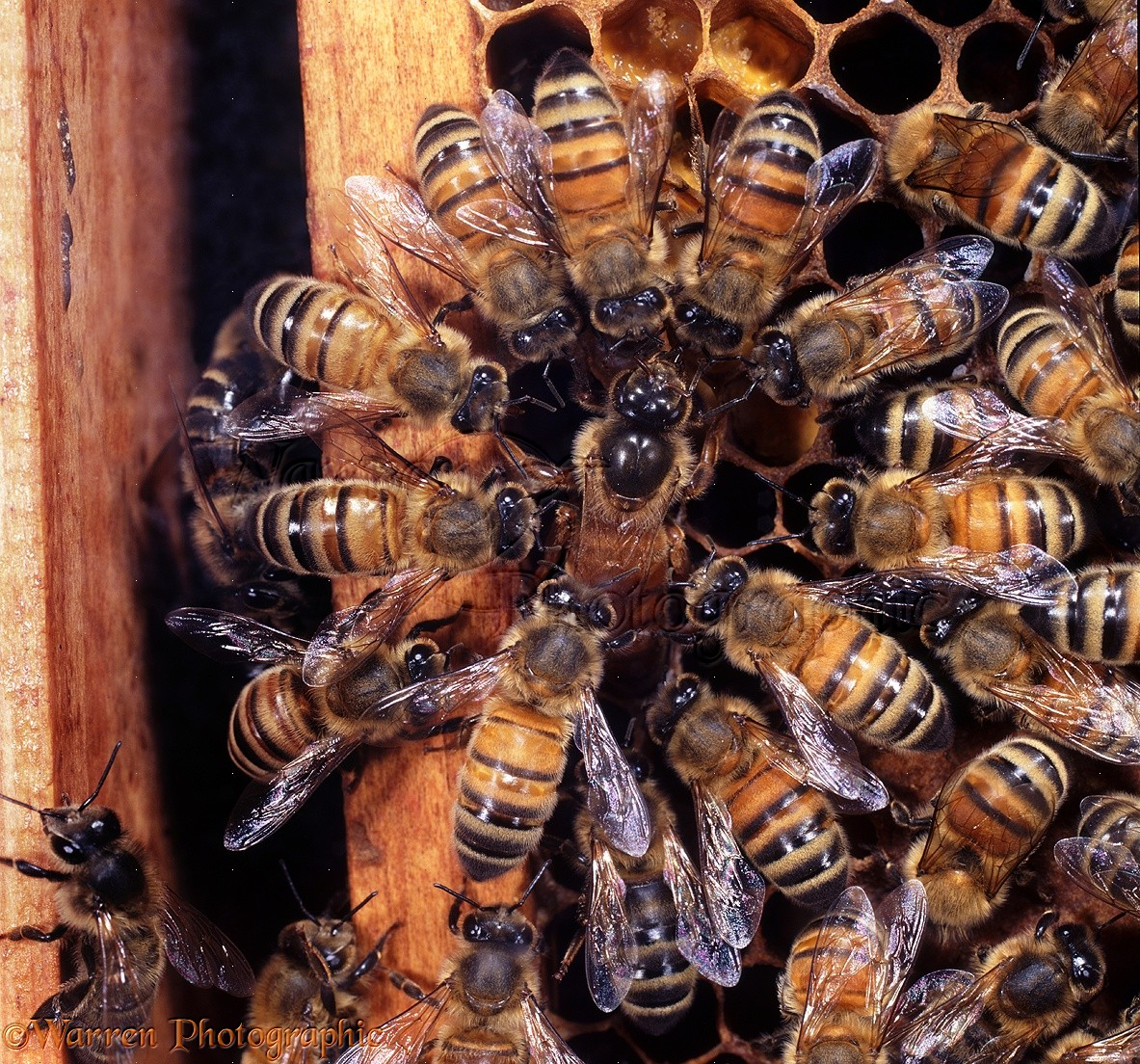 queen bee laying eggs - photo #25