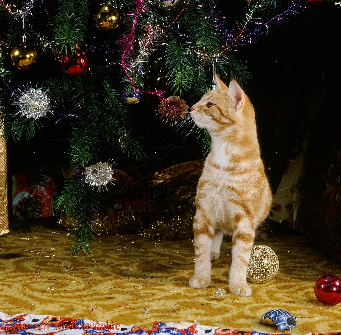 Young ginger cat sniffing Christmas tree decorations photo ...