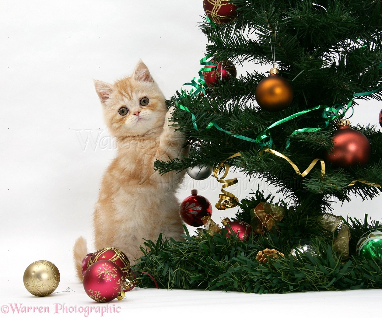 Ginger kitten playing with a Christmas tree photo WP18088