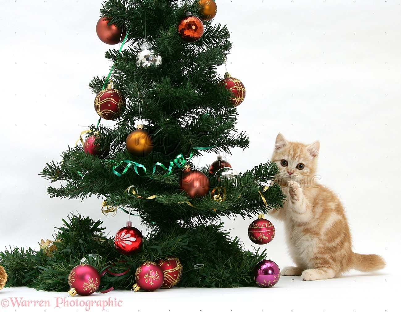 WP18105 Ginger kitten playing with a Christmas tree.