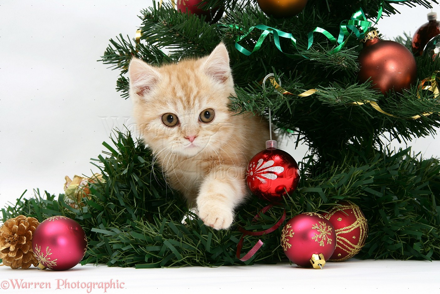 Ginger kitten playing with a Christmas tree photo WP18106