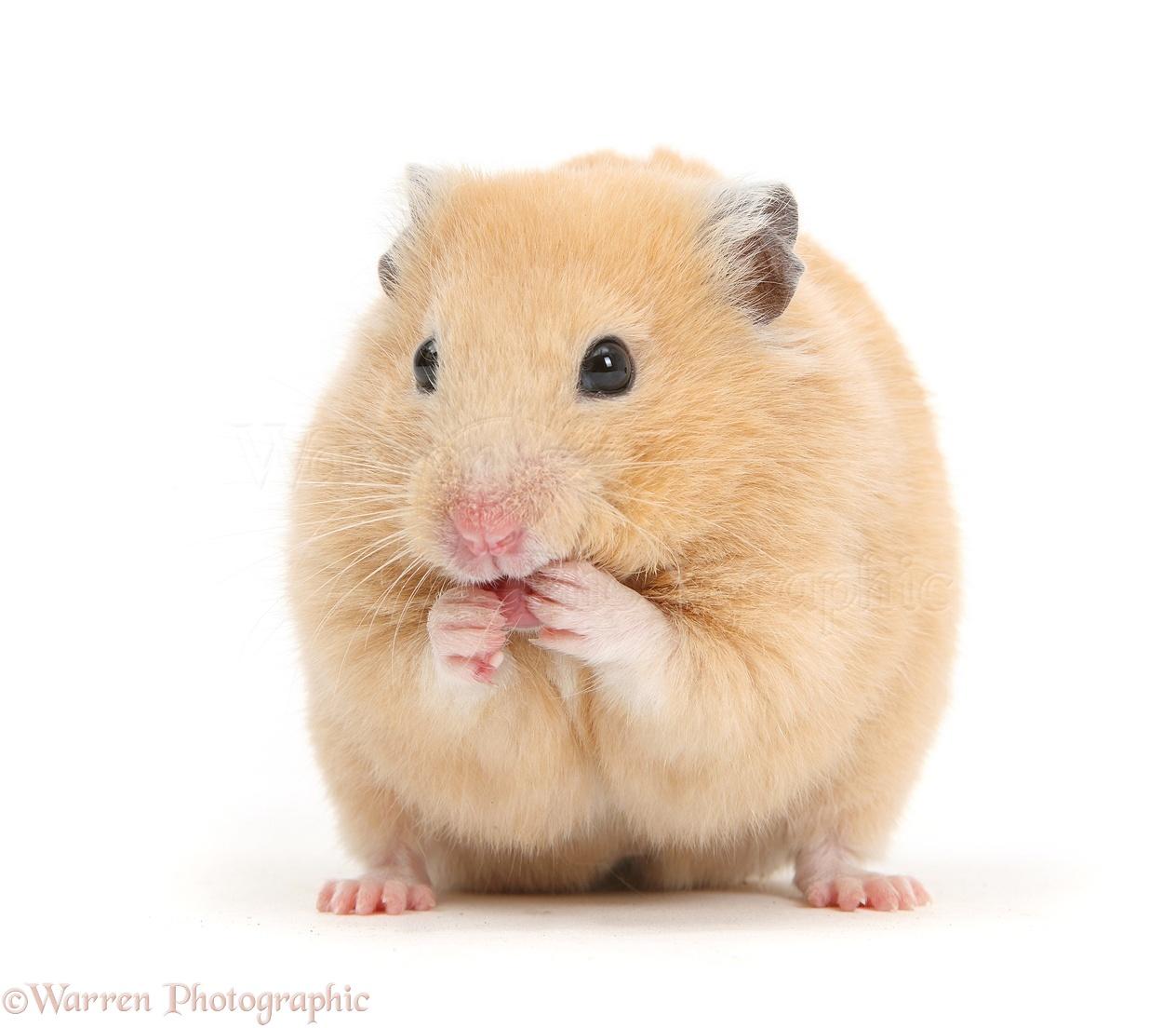 Golden hamster white - photo#2