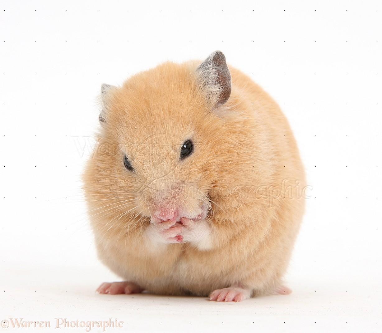 Golden hamster white - photo#4
