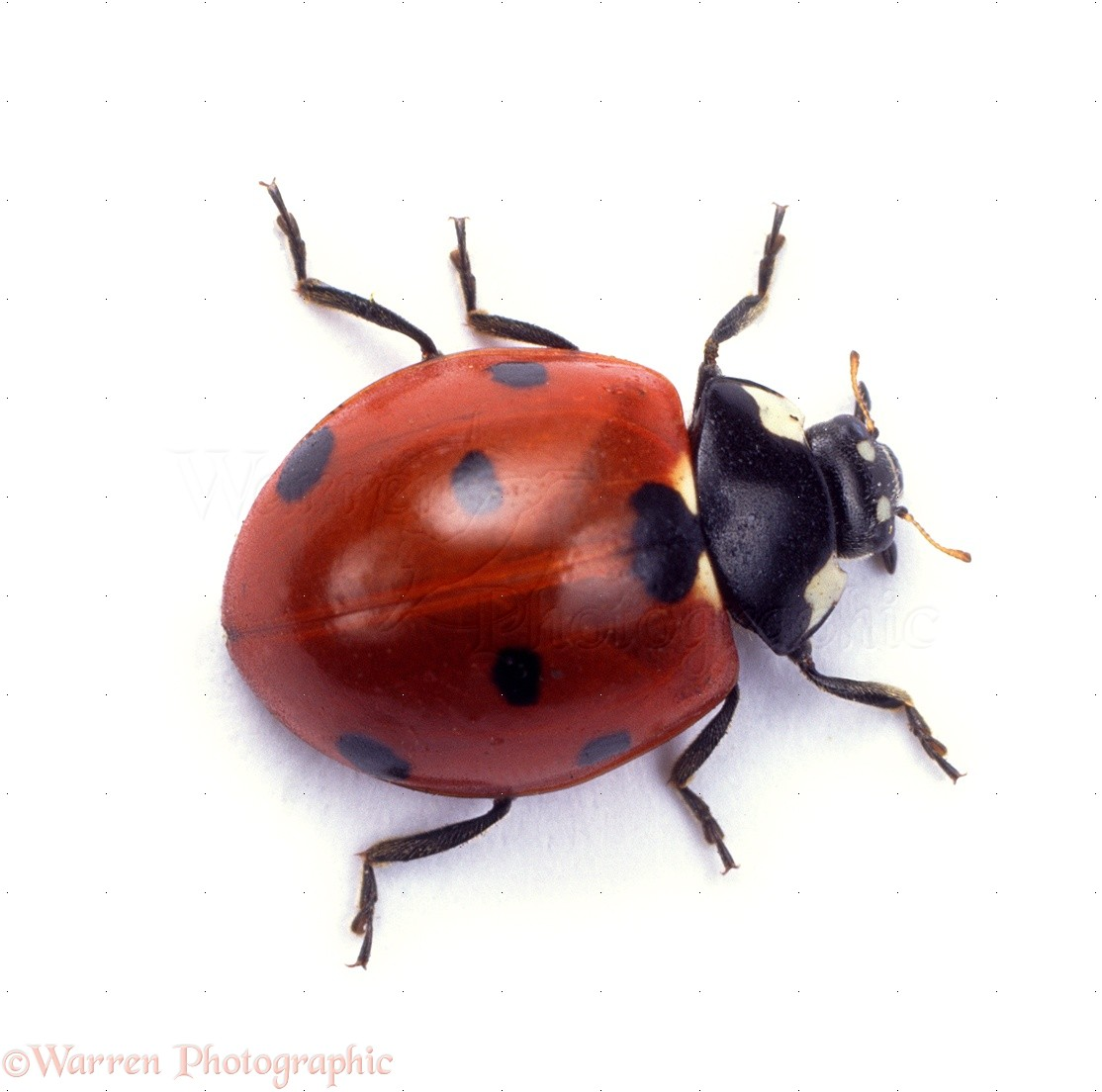 18212-Seven-spot-Ladybird-white-backgrou