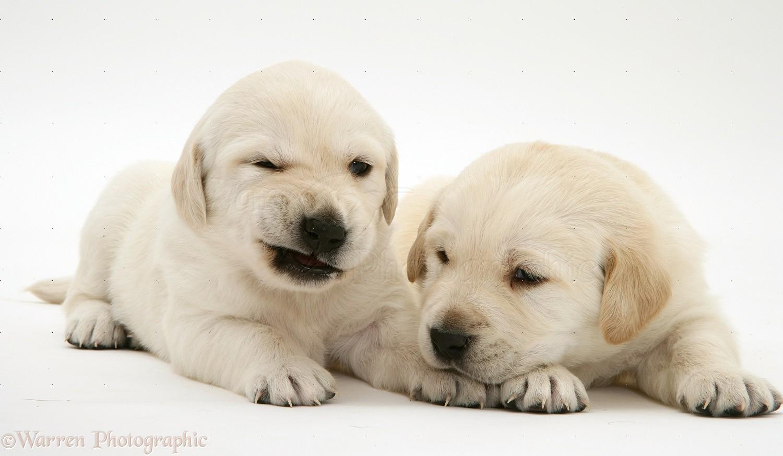 Dogs: Yellow Goldador Retriever pups photo WP18220