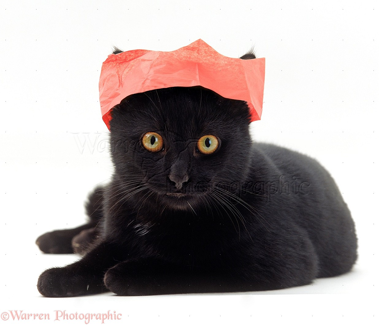 Black cat in a Christmas cracker hat photo WP18225