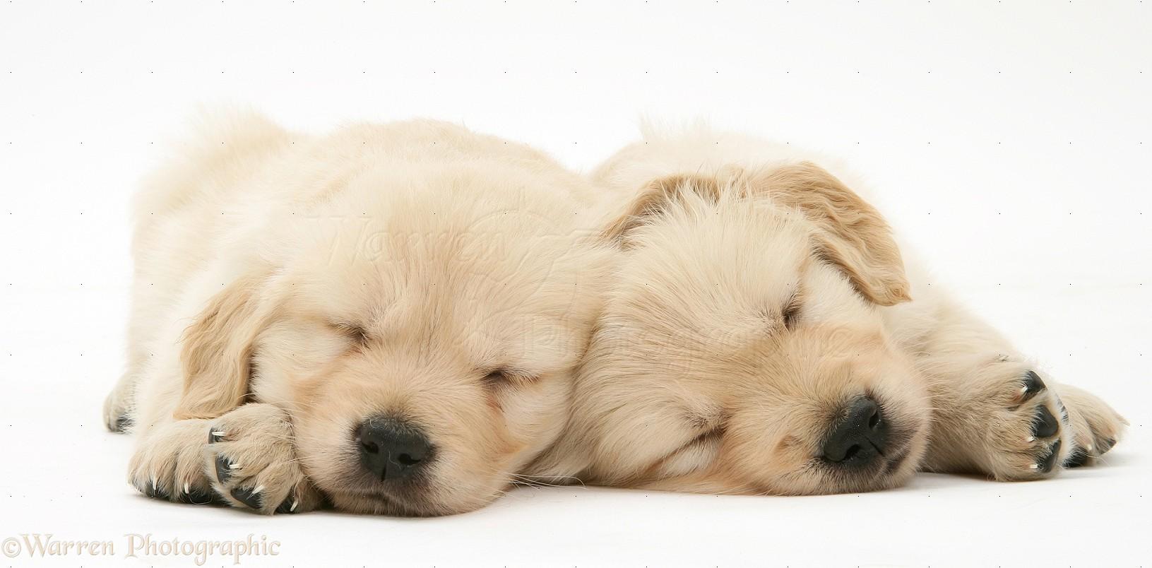 Cute Sleeping Golden Retriever Puppies - wallpaper.