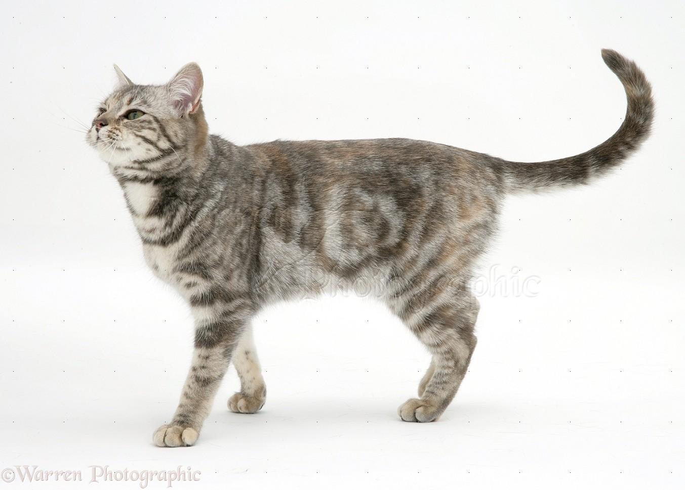 tabby cat walking photo wp18386