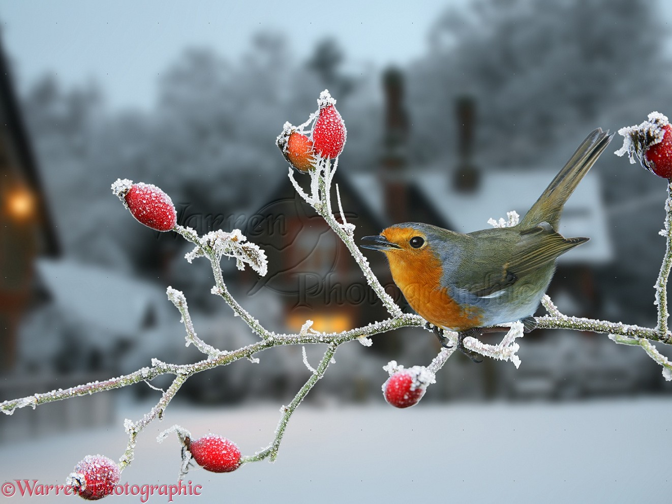 Robin And Rose Hips Photo Wp18447