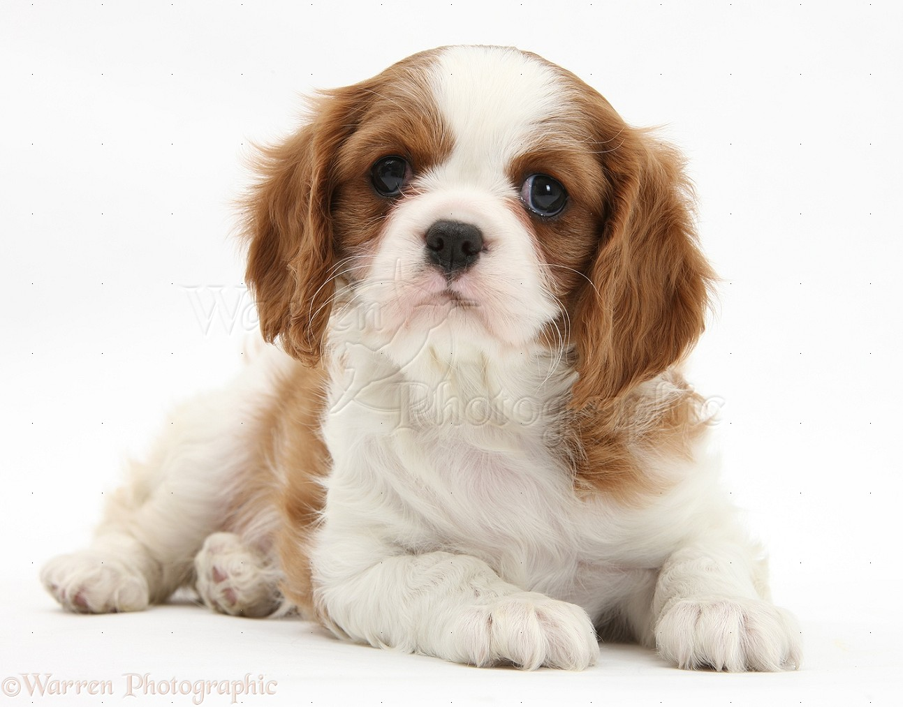 King Charles Spaniel Puppy Images King Charles Spaniel Pup