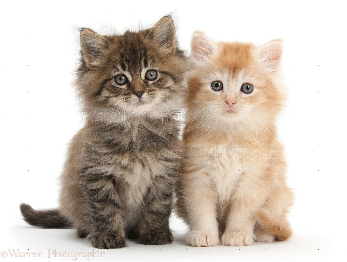 Maine Coon Kittens 7 Weeks Old Photo Wp18487