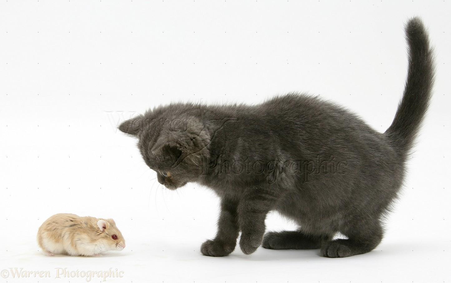 Grey kitten meeting Dwarf Siberian Hamster photo WP18506