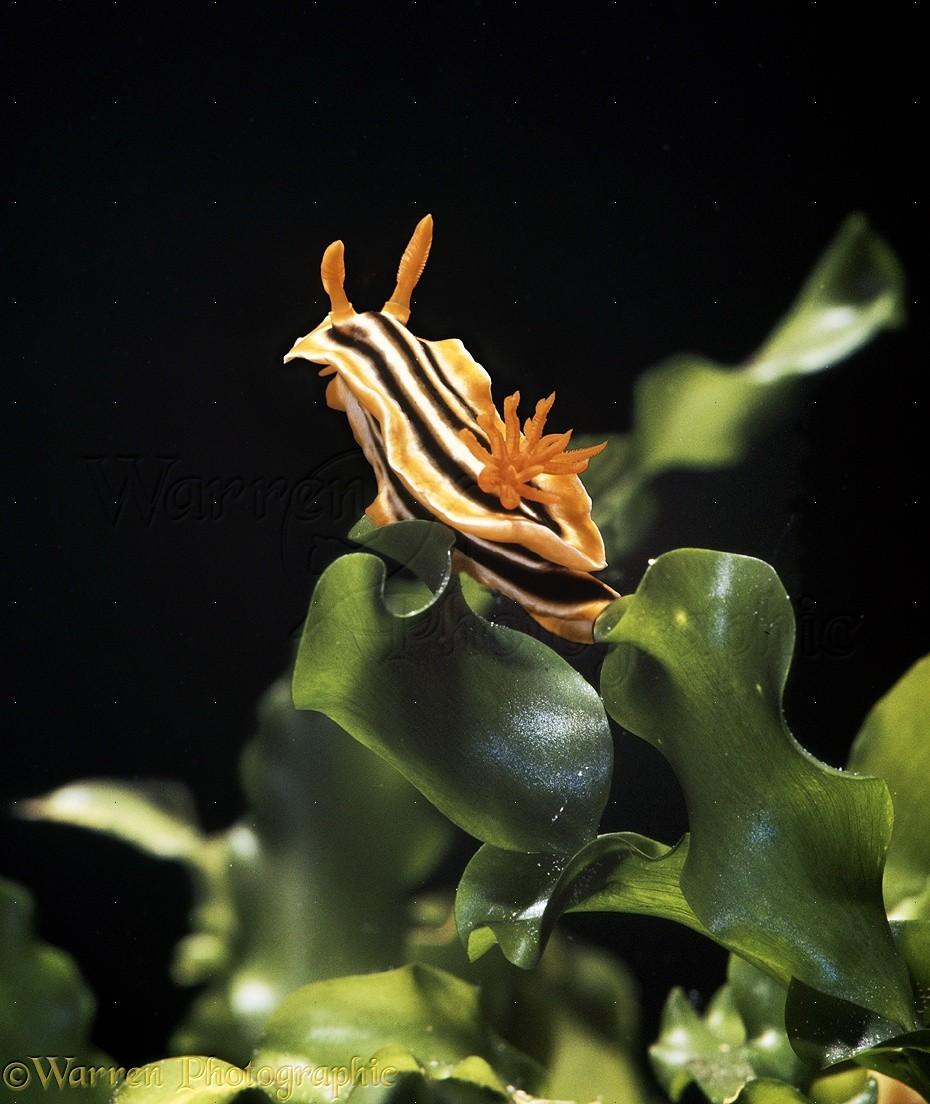 Tropical sea slug photo WP18524