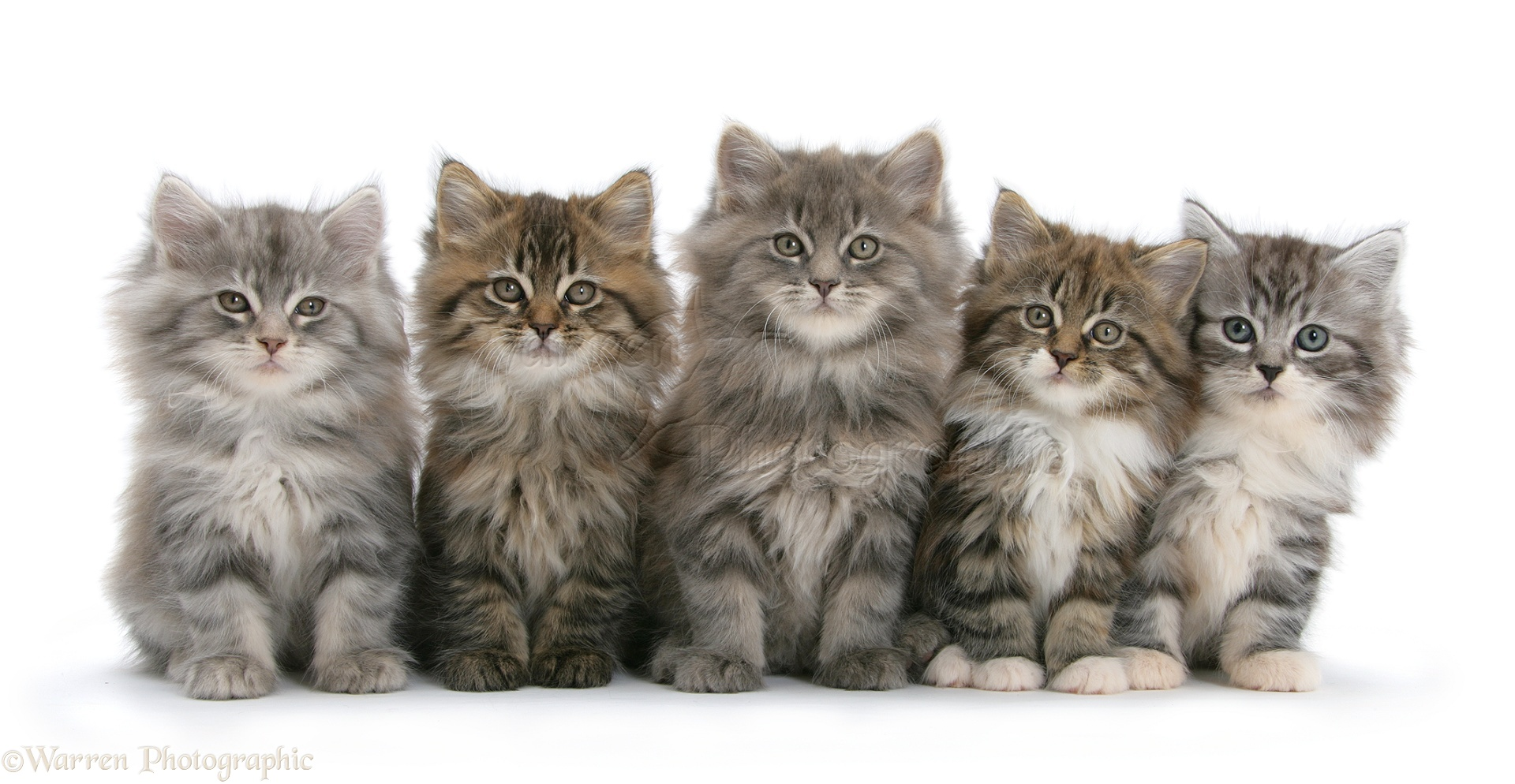 Grey Maine Coon Cats For Sale