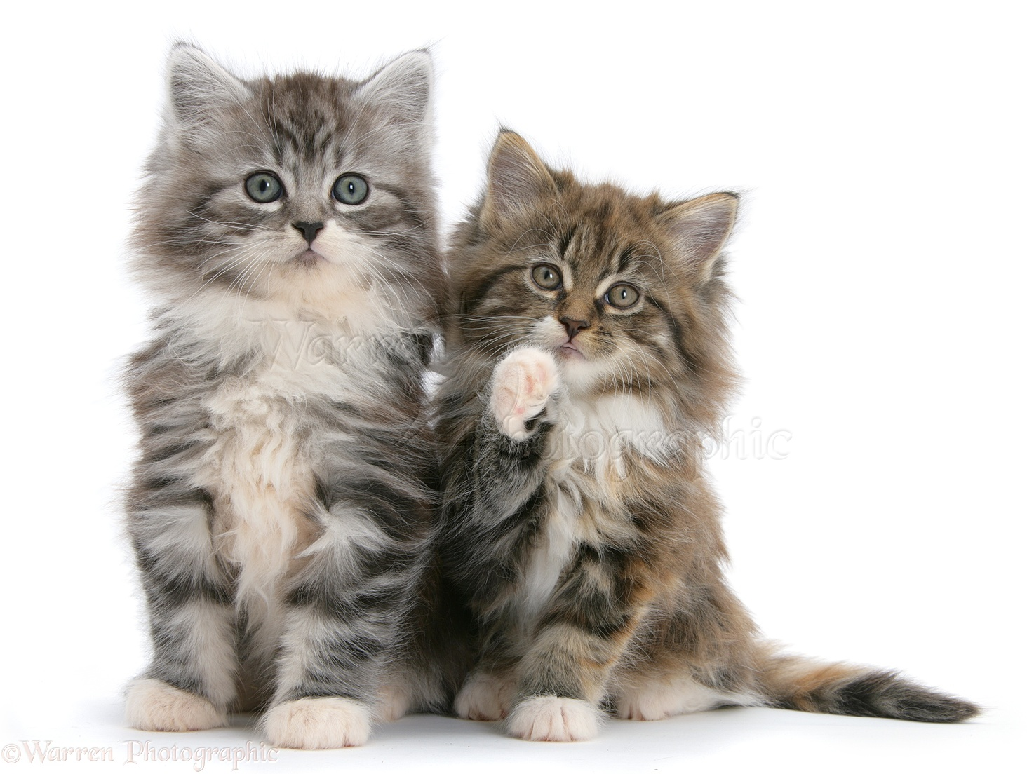 Maine Coon Cat Toys