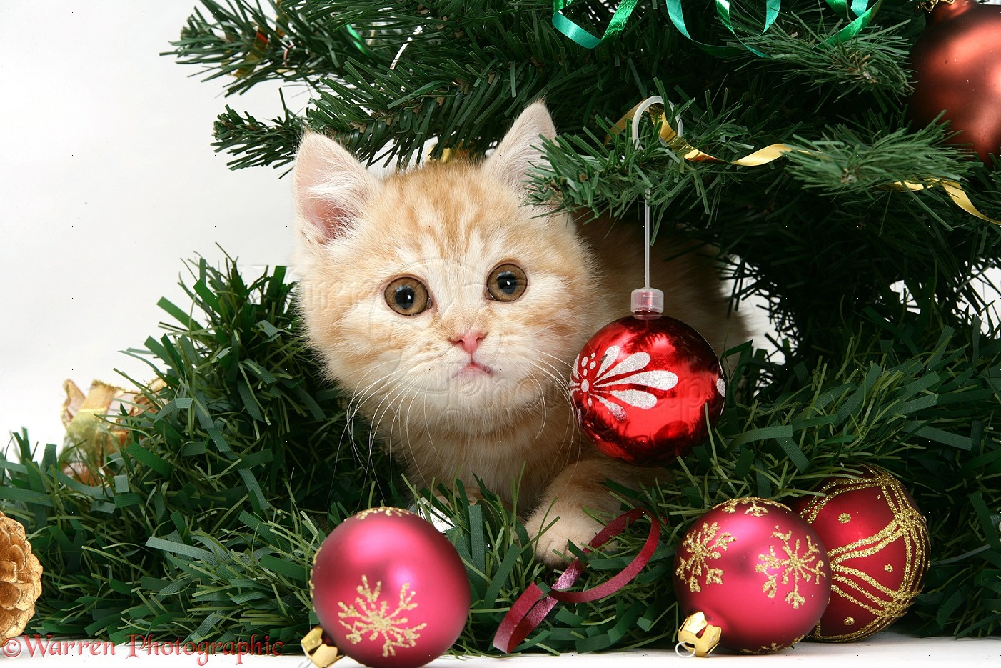 Ginger kitten playing with a Christmas tree photo WP18581