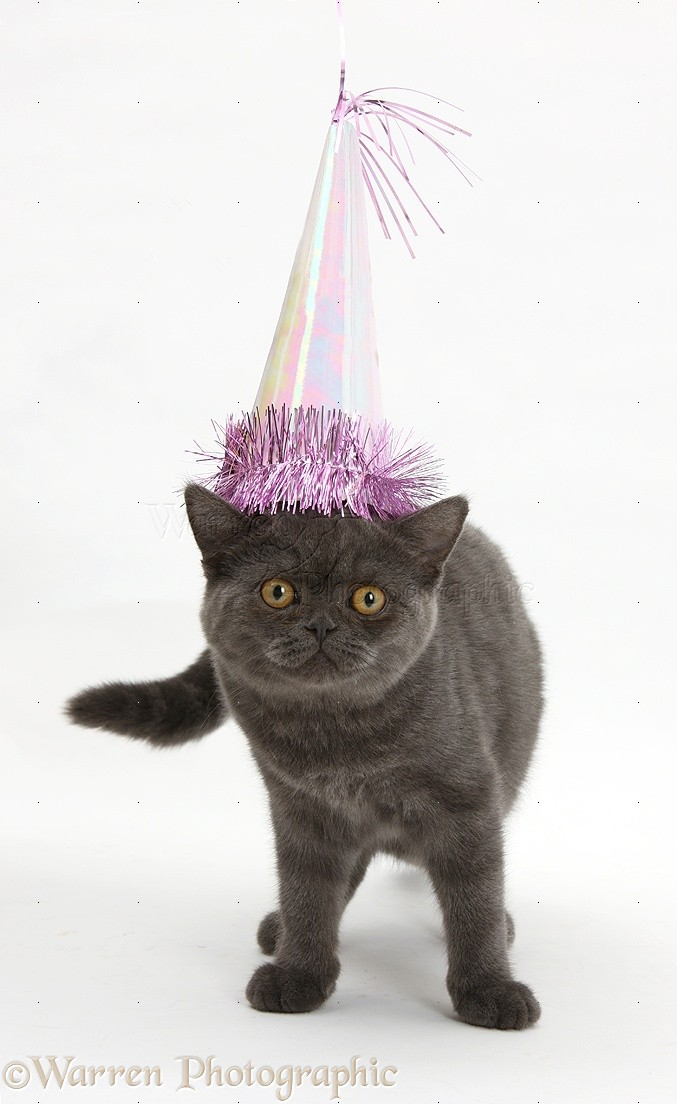 WP18584 Grey Kitten Wearing A Birthday Party Hat