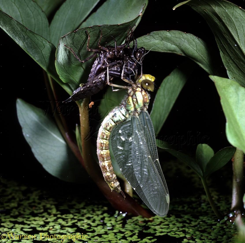 Dragonflies Hatching