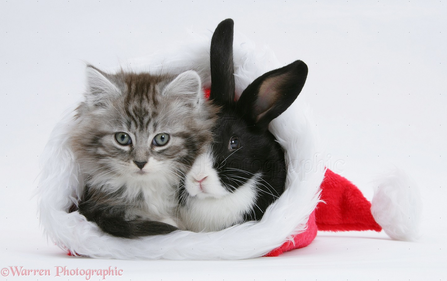 Pets: Maine Coon kitten and baby rabbit in a Santa hat photo WP18662
