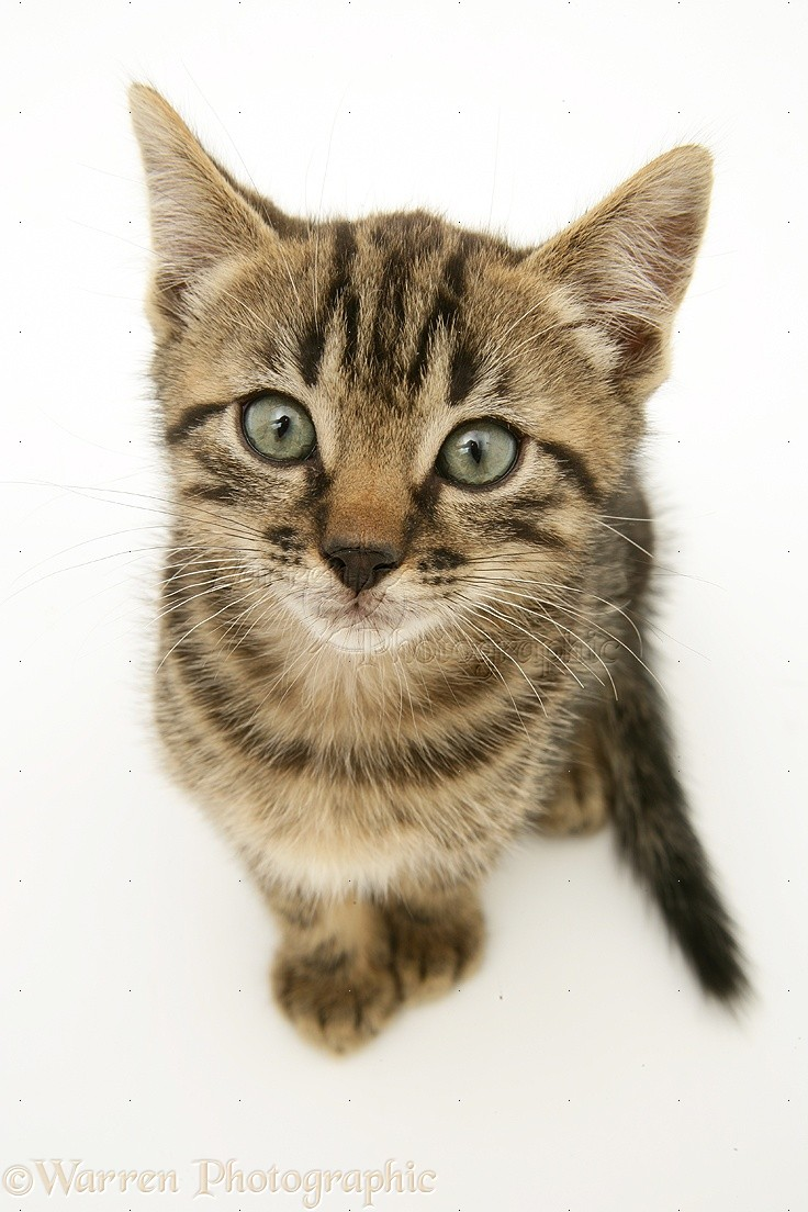 Brown tabby kitten sitting looking up photo WP18665 Tabby Cat Sitting Up
