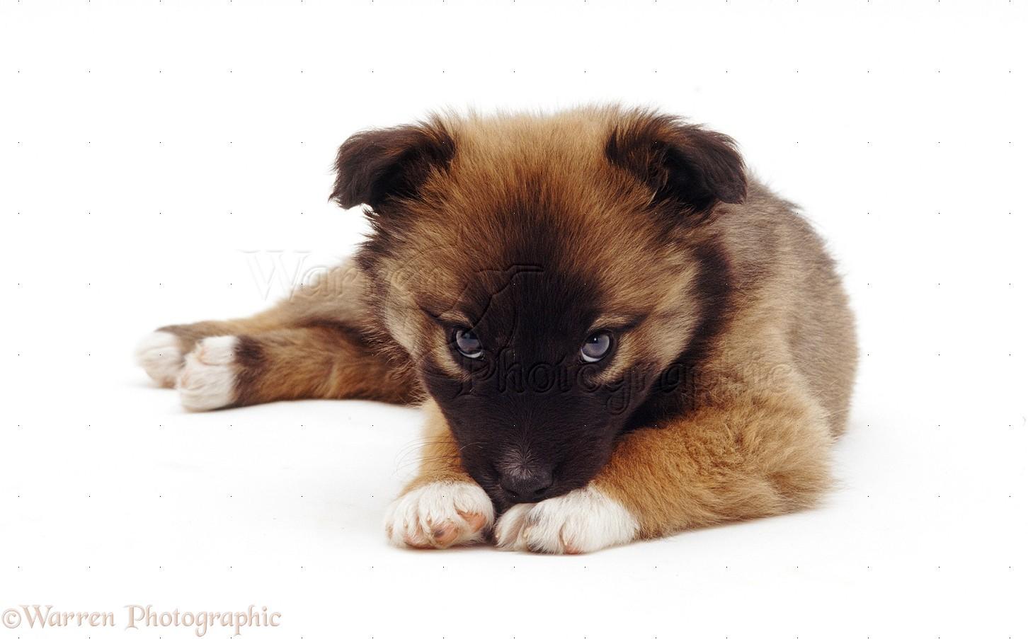 Dog: Cute mongrel pup, with chin on paws photo WP18679 Дворняжка Щенок