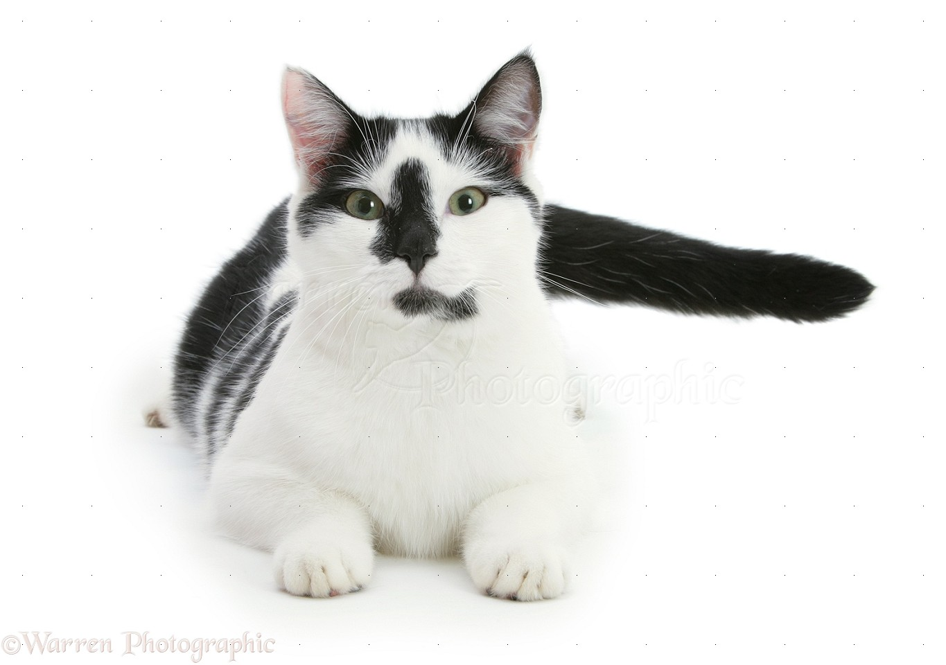 Pepper's creation 18717-Black-and-white-cat-lying-with-head-up-white-background