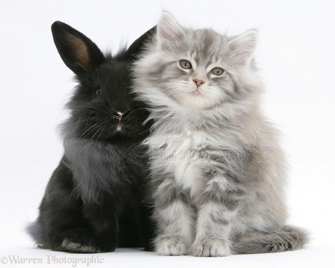 black cat kittens