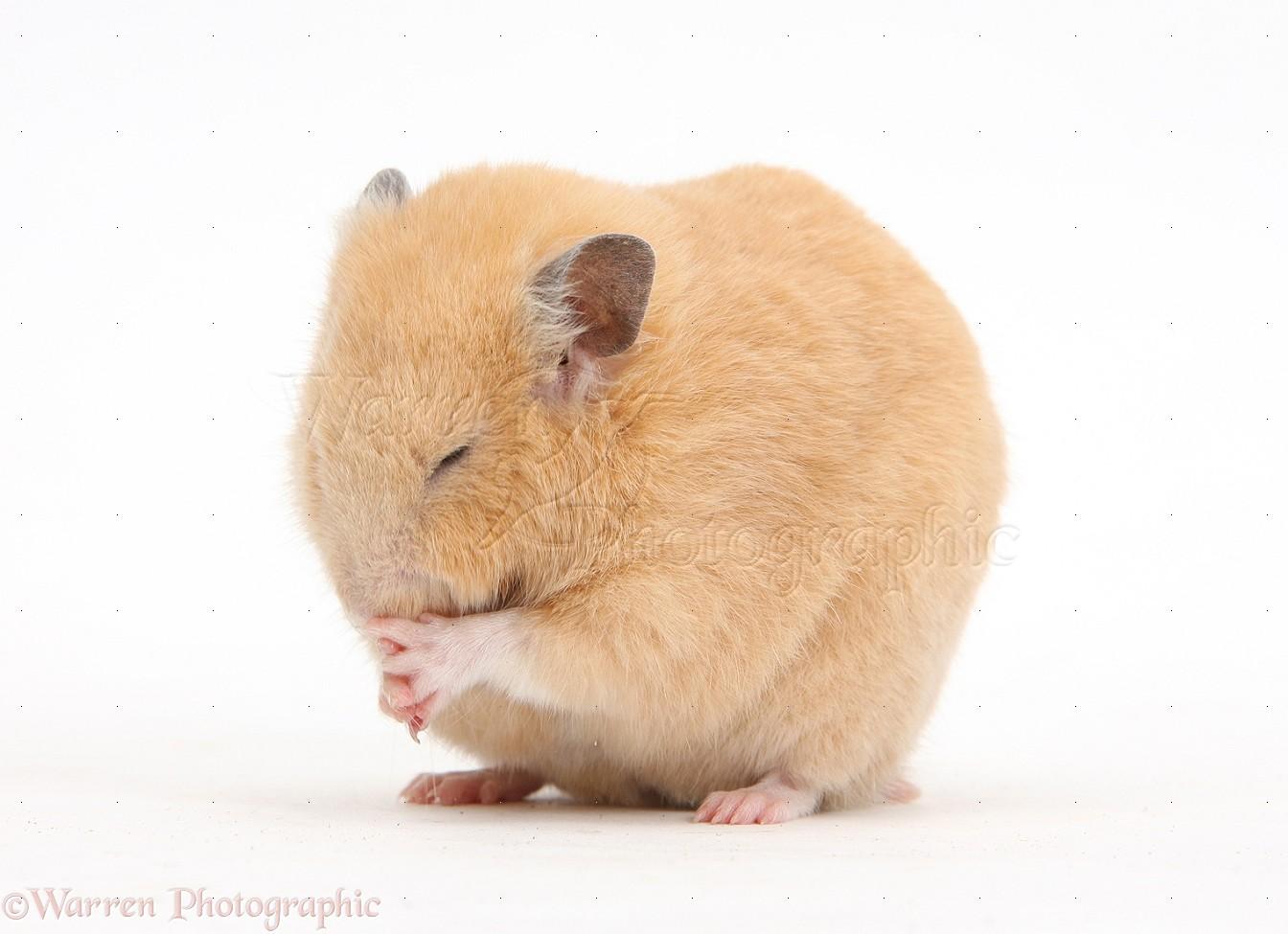 Golden hamster white - photo#25