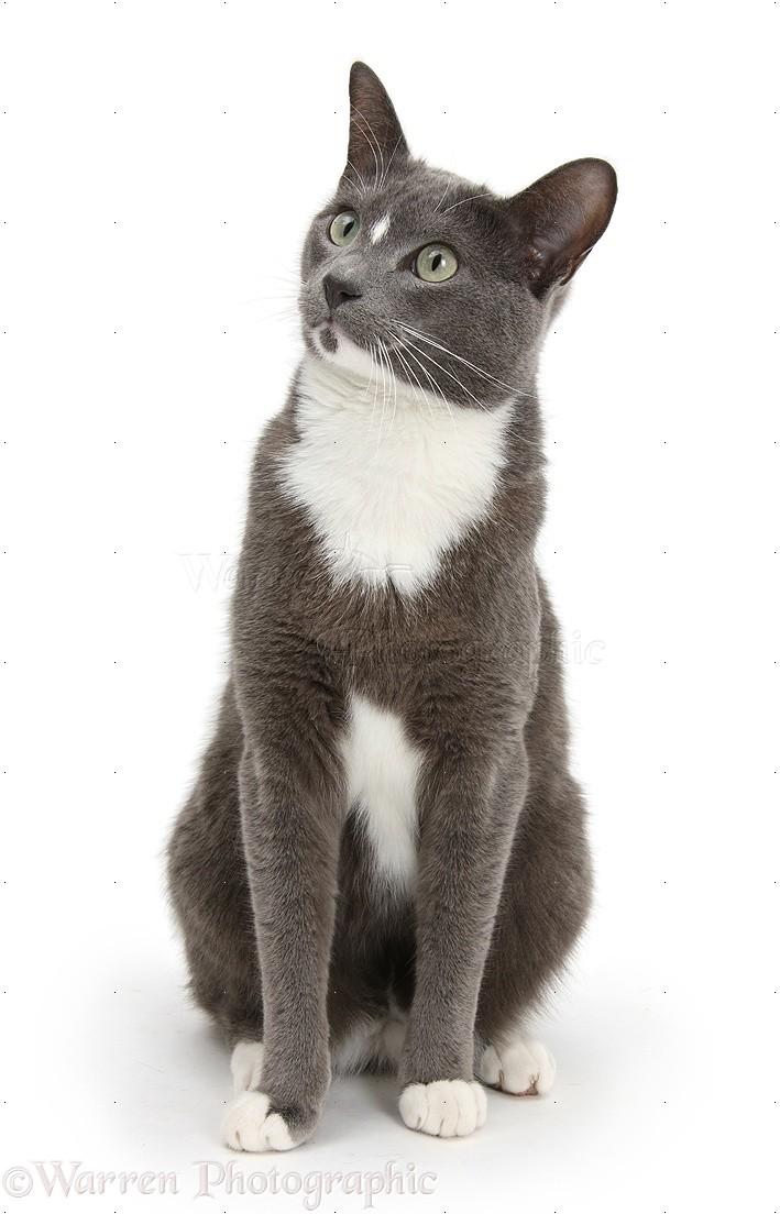 Blue Burmese Cat Images