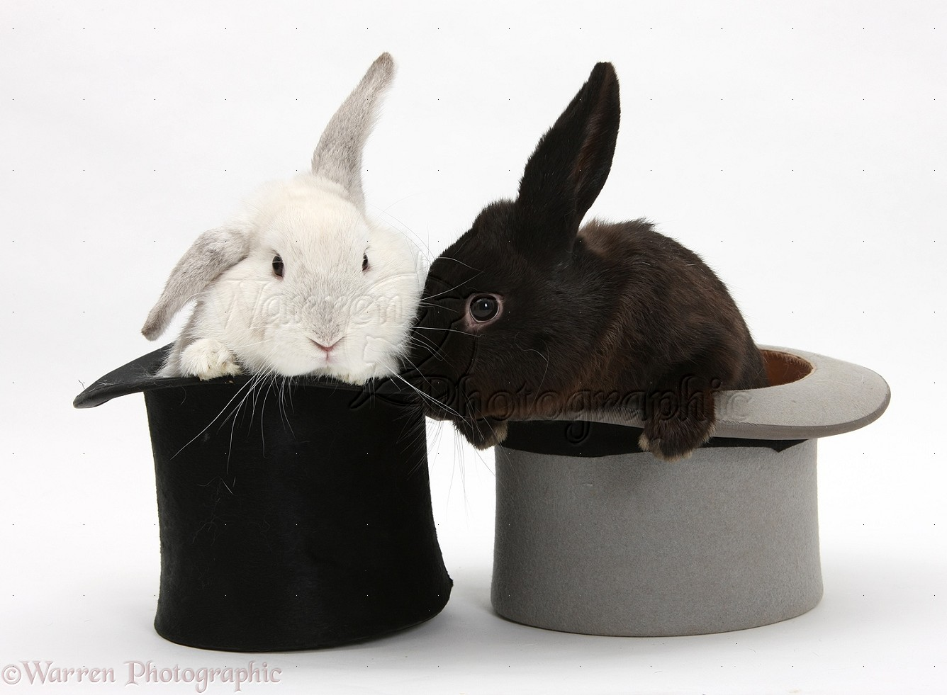 White Rabbit And Black Rabbit In Top Hats Photo Wp18785