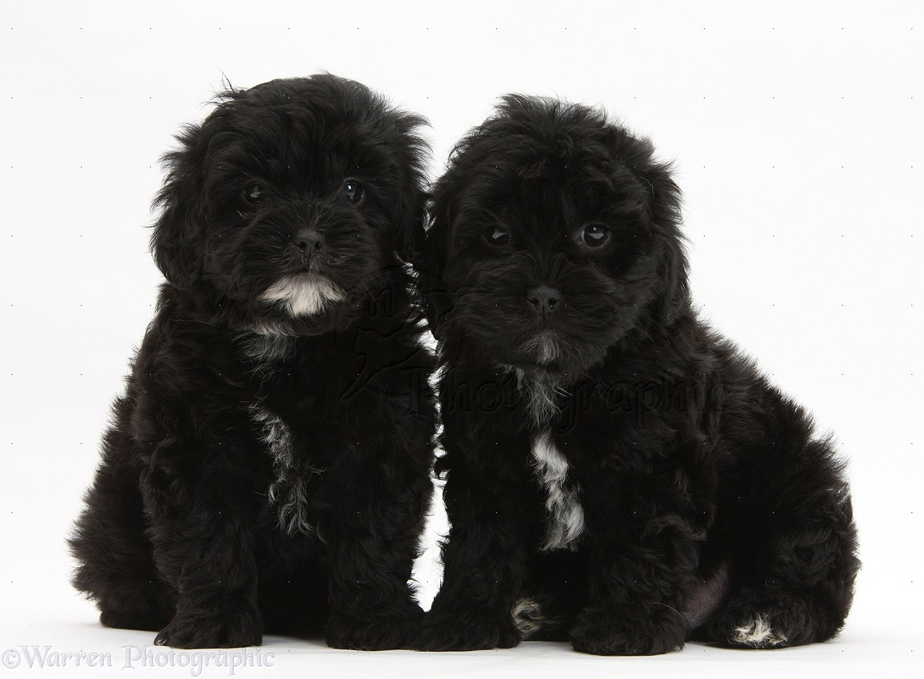 Black and White Shih Tzu Poodle Mix
