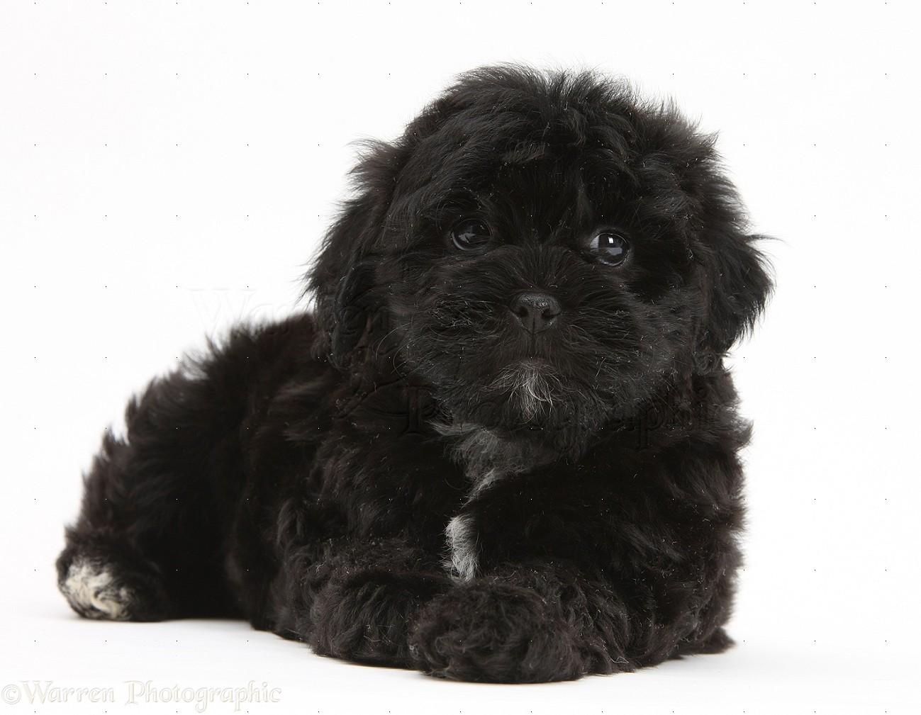 Dog: Black Pooshi (Poodle x Shih-Tzu) pup photo - WP18791 Black And White Short Hair Chihuahua