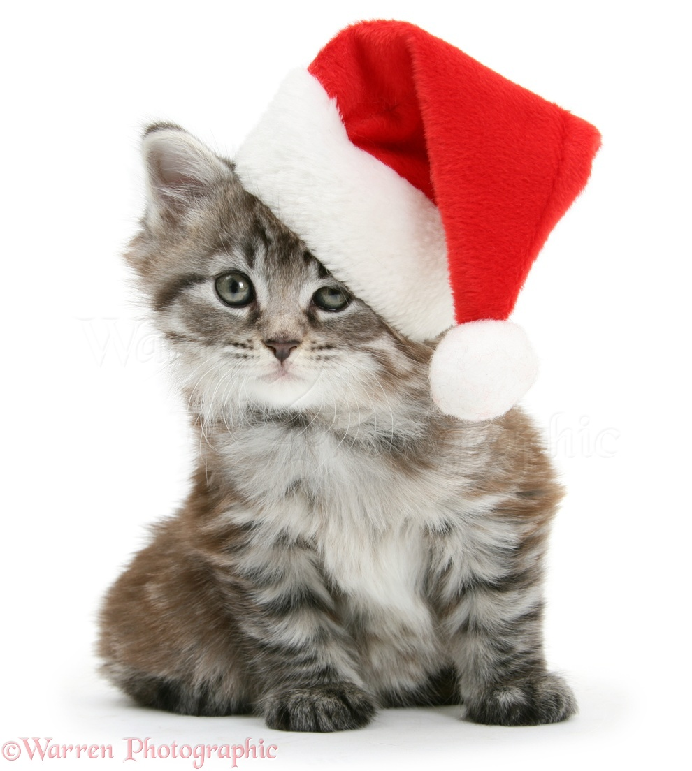 Kittens Wearing Christmas Hats Kitten Wearing a Santa Hat