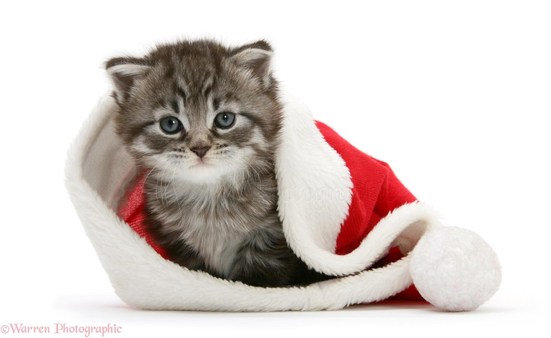Cat Santa Hat Video