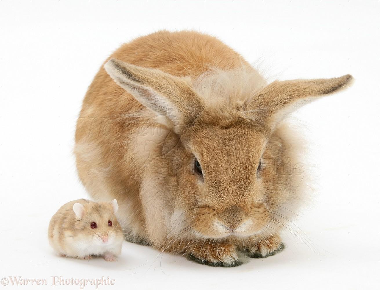 WP18866 Sandy Lionhead rabbit meeting Dwarf Siberian Hamster.