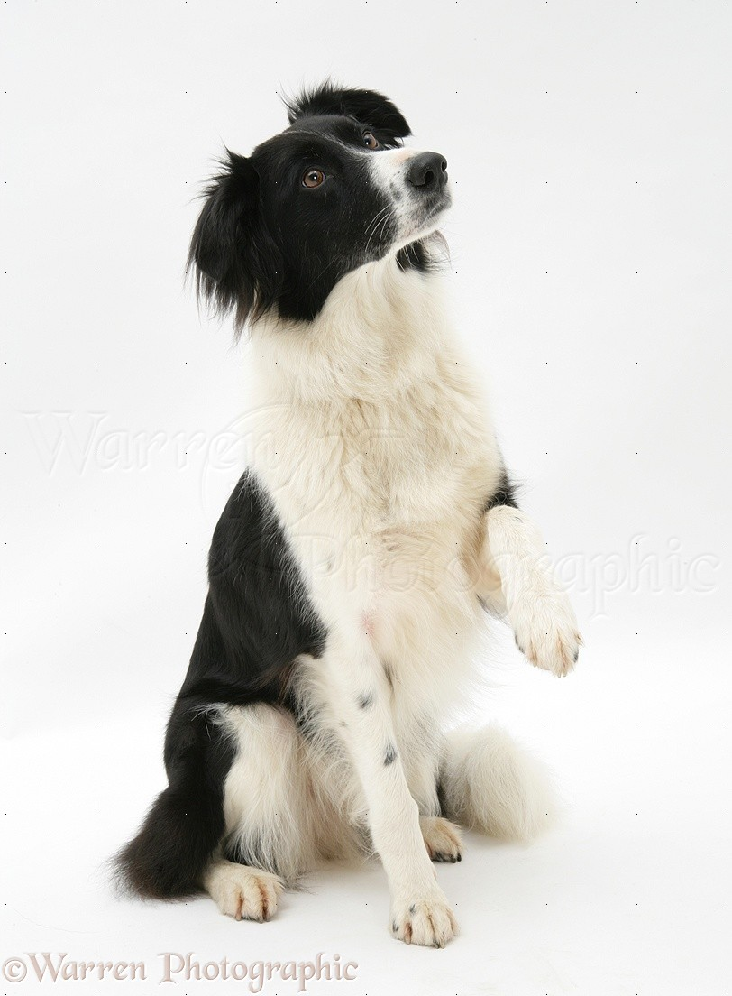 WP18906 Black-and-white Border Collie Phoebe holding up a paw .